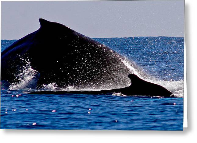 Whale Photographs Greeting Cards - Family Swim Greeting Card by Jean Noren