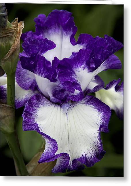 Berkshires Of New England Greeting Cards - Fancy Iris Greeting Card by Michael Friedman
