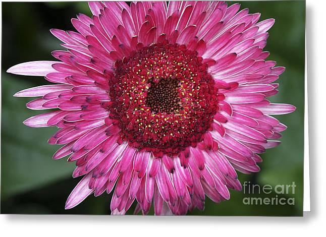 Pink Flower Prints Greeting Cards - Fancy Pink Daisy Greeting Card by Deborah Benoit