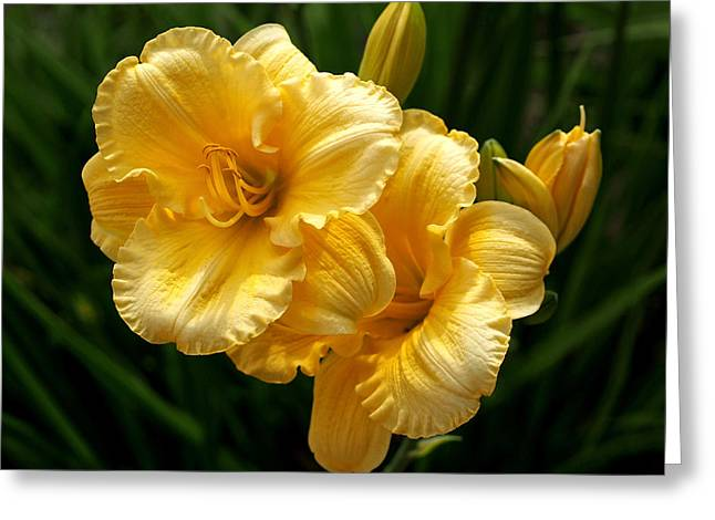 Bud Greeting Cards - Fancy Yellow Daylilies Greeting Card by Rona Black