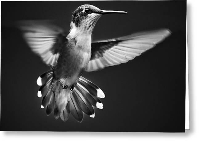 Recently Sold -  - Square Format Greeting Cards - Fantail Hummingbird Greeting Card by Christina Rollo