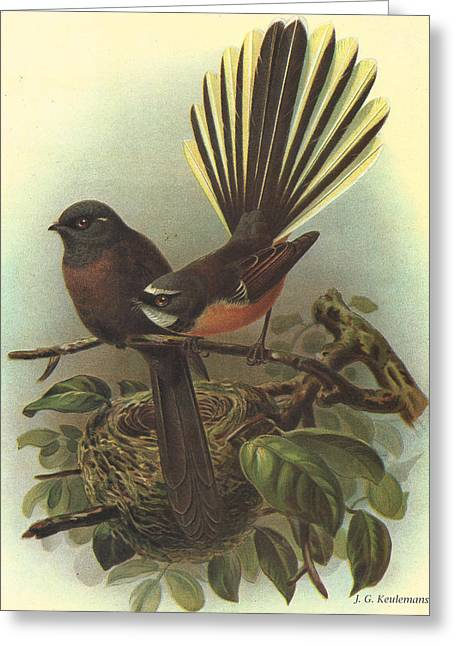 Naturalist Greeting Cards - Fantail Greeting Card by J G Keulemans