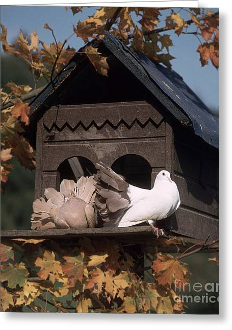 Livia Greeting Cards - Fantail Pigeons At Birdhouse Greeting Card by Hans Reinhard