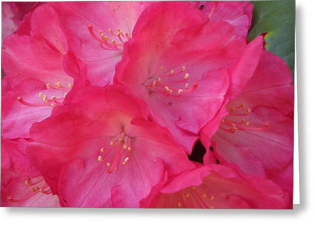 Pink Rhodies Greeting Cards - Fantastica Greeting Card by Crista Forest