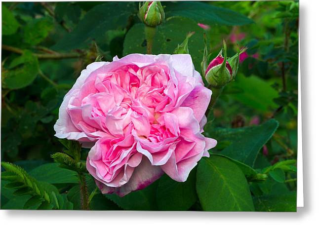 Centifolia Greeting Cards - Fantin Latour Flower Greeting Card by Michael Russell