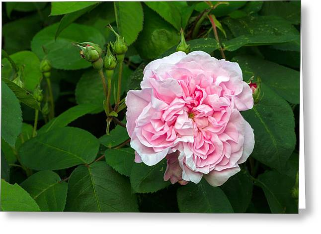 Centifolia Greeting Cards - Fantin Latour Rose Flower Greeting Card by Michael Russell