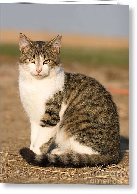 Farm Cat Greeting Cards - Farm Cat Greeting Card by Cindy Singleton