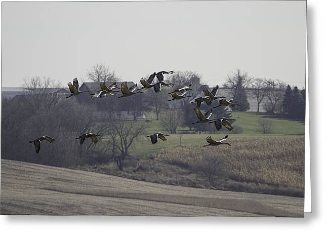 Crane Migration Greeting Cards - Farm Land Sandhill Cranes Greeting Card by Thomas Young