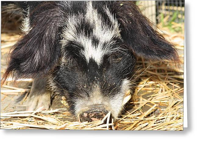 Farm Pig 7D27361 Greeting Card by Wingsdomain Art and Photography