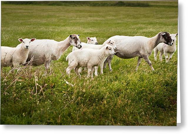 Ovine Greeting Cards - Farm sheep in landscape on stormy Summer day Greeting Card by Matthew Gibson