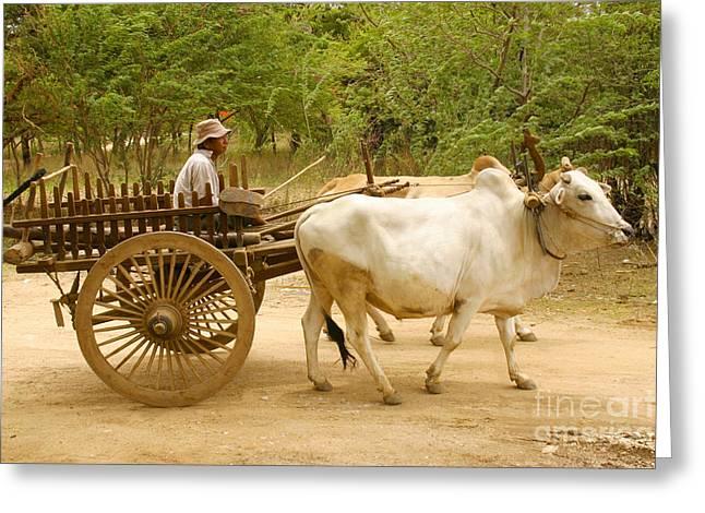 Cart Driving Greeting Cards - Farmer Driving An Ox Cart Old Bagan Burma Greeting Card by Ralph A  Ledergerber-Photography