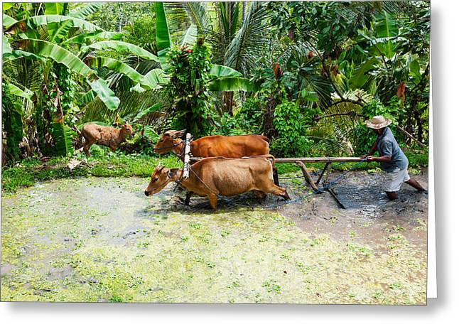 Occupation Greeting Cards - Farmer With Oxen Working In Paddy Greeting Card by Panoramic Images
