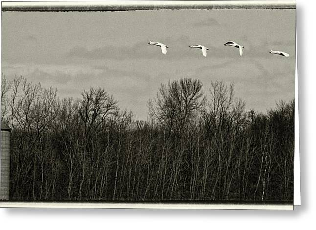 Flying Swan Greeting Cards - Farmland Migration Greeting Card by Thomas Young