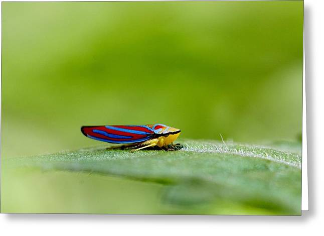 Andrea Lazar Greeting Cards - Fashion Bug - Leafhopper Greeting Card by  Andrea Lazar