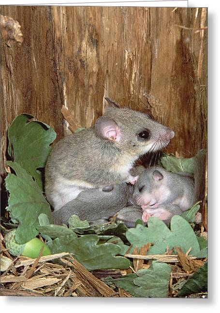 Dormouse Greeting Cards - Fat Dormouse Mother Nursing Young Greeting Card by Konrad Wothe