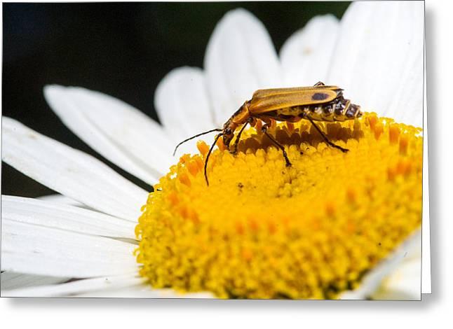 Lightning Bug Greeting Cards - Fat Lightning Bug Feeding on Daisy Pollen 2 Greeting Card by Douglas Barnett