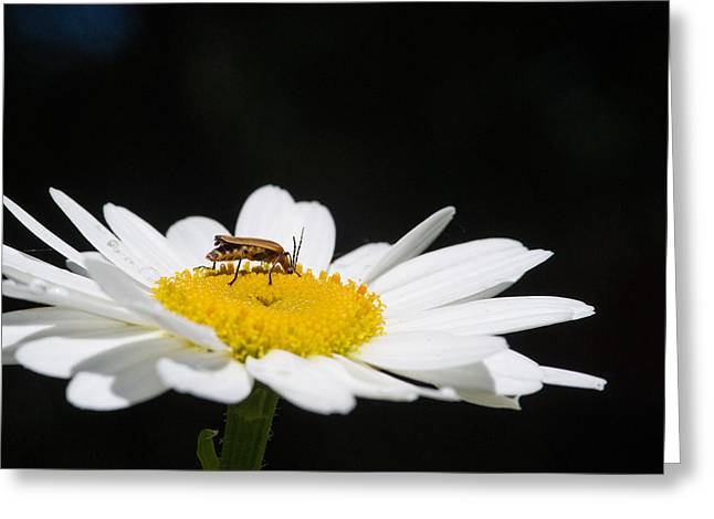 Tennessee Greeting Cards - Fat Lightning Bug Feeding on Daisy Pollen Greeting Card by Douglas Barnett