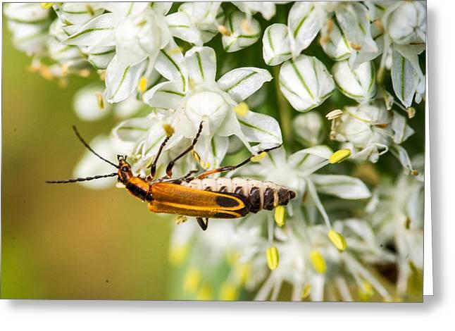 Lightning Bug Greeting Cards - Fat Lightning Bug Feeding on Pollen Greeting Card by Douglas Barnett