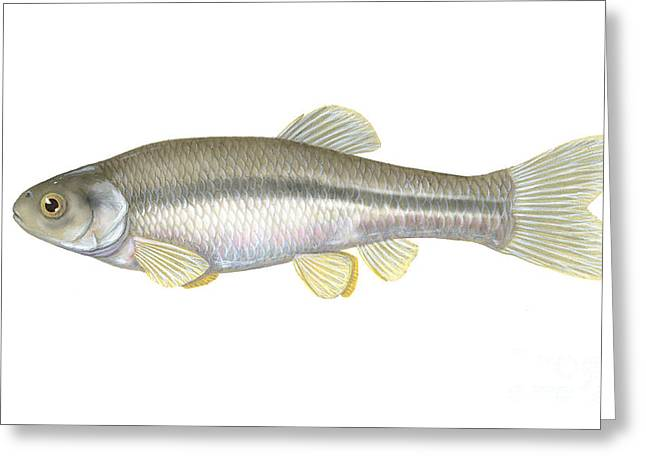 Minnows Greeting Cards - Fathead Minnow Greeting Card by Carlyn Iverson