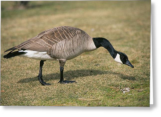 Mother Goose Greeting Cards - Father Goose Greeting Card by Buddy Mays