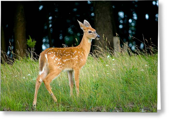 Fawn Greeting Cards - Fawn Greeting Card by Shane Holsclaw