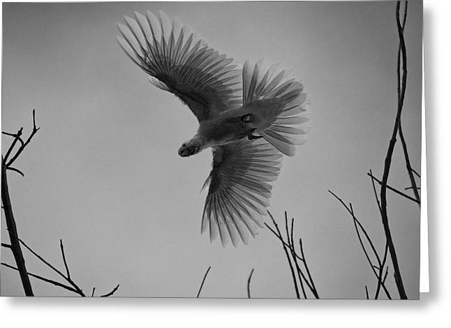 Cockatoo Greeting Cards - Feathered Flight  Greeting Card by Douglas Barnard