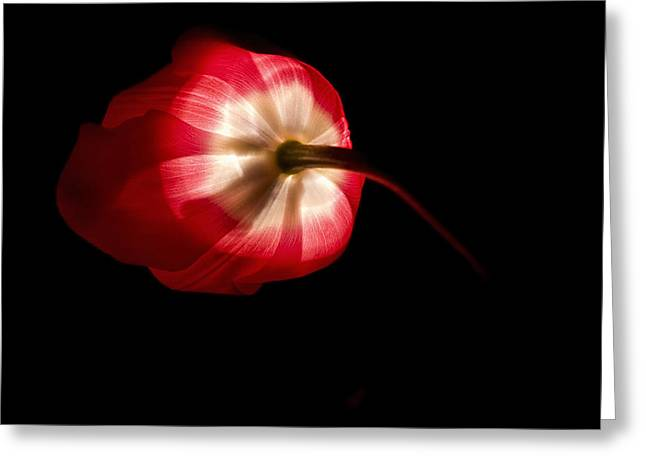 Flower Fine Art Photography Greeting Cards - Feathery Tulip Greeting Card by Andrew Soundarajan