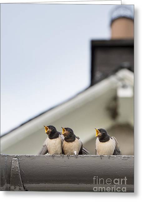 Swallow Greeting Cards - Feed Me  Greeting Card by Tim Gainey