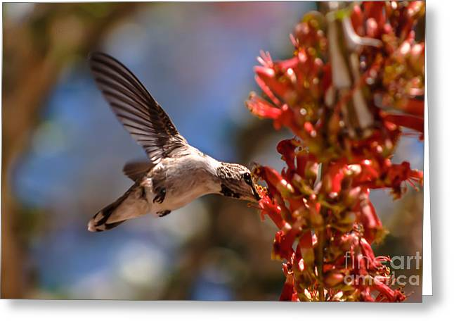 Trochilidae Greeting Cards - Feeding Annas  Greeting Card by Robert Bales
