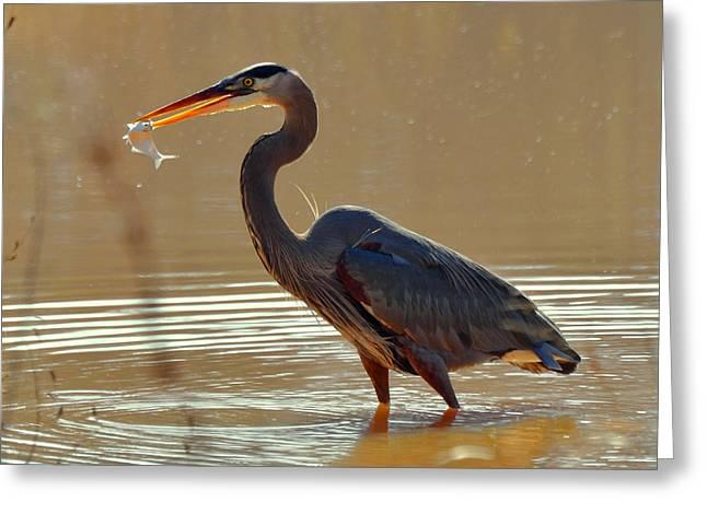 Heron Greeting Cards - Feeding Great Blue Heron in Rural  NC - c3197g Greeting Card by Paul Lyndon Phillips