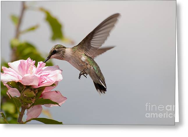 Pink Althea Greeting Cards - Feeding on Pink Greeting Card by Sari ONeal