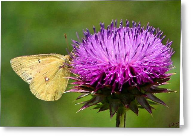 Sulfur Greeting Cards - Feeding on Thistle Greeting Card by Kristin Elmquist
