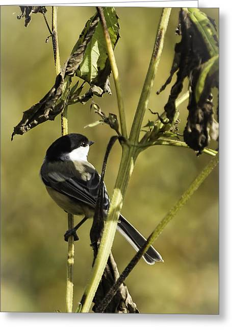 Oneida Greeting Cards - Feeding On Wild Seeds Greeting Card by Thomas Young