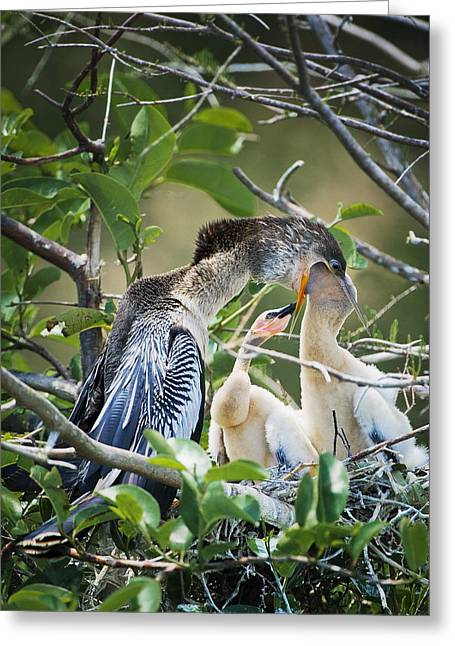 Baby Bird Greeting Cards - Feeding Greeting Card by Patrick M Lynch