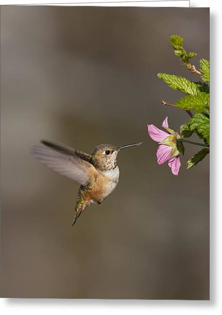 Rufus Greeting Cards - Feeding Rufus Hummingbird Greeting Card by Tim Grams