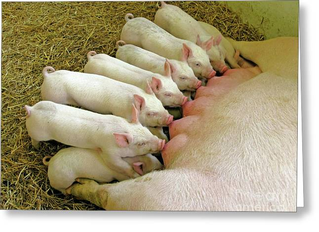 Piglets Greeting Cards - Feeding the Family Greeting Card by Ann Horn