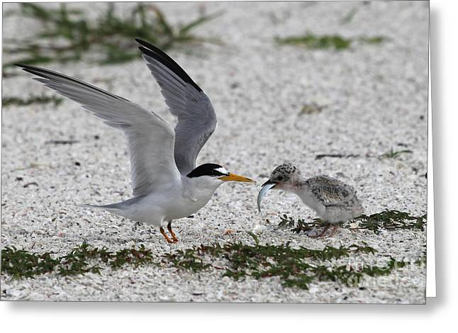 Tern Greeting Cards - Feeding Time - Least Tern Greeting Card by Meg Rousher