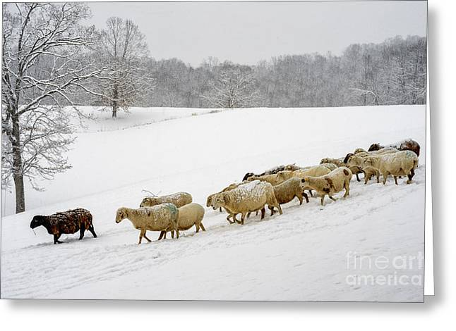 Sunset; Evening; Winter; Snow; Sheep Greeting Cards - Feeding Time Greeting Card by Thomas R Fletcher