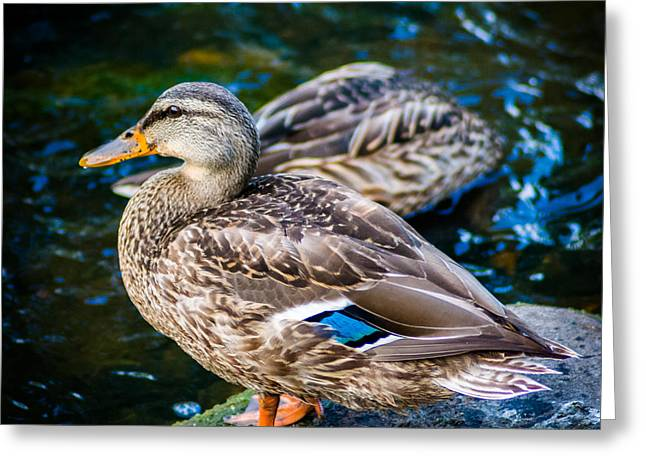 Riverwalk Greeting Cards - Feeling Just Ducky Greeting Card by Randy Scherkenbach