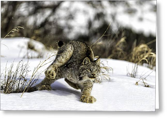 Bobcats Photographs Greeting Cards - Feet dont fail me now Greeting Card by Frank Pali
