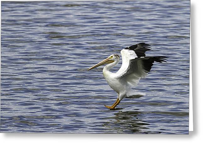 Pelican Landing Greeting Cards - Feet First Greeting Card by Thomas Young
