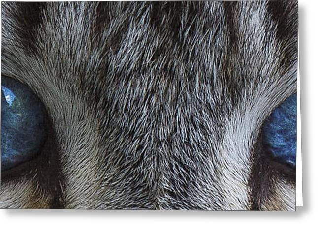 Colourpoint Greeting Cards - Feline BLUE D4231 Greeting Card by Wes and Dotty Weber