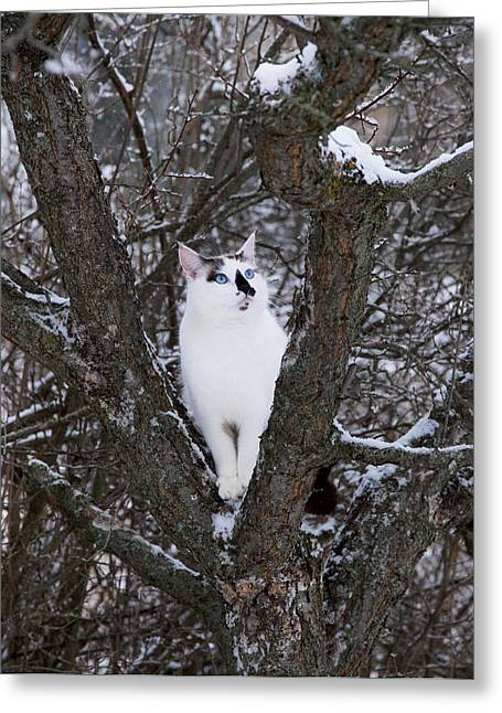 Apricot Greeting Cards - Felis Silvestris Catus in Winter Greeting Card by Theresa Tahara