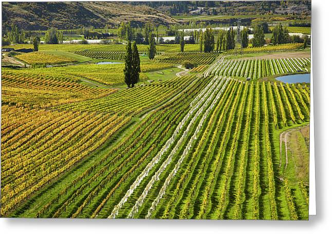 Felton Road Vineyard In Autumn Greeting Card by David Wall