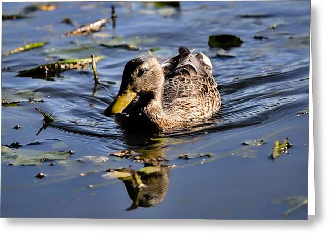 Nature Phots Greeting Cards - Femail Duck- Female Mallard Swimming Greeting Card by Leif Sohlman