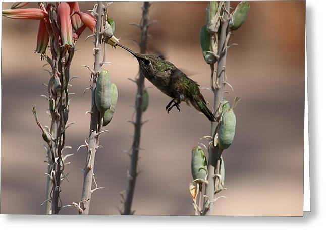 Migrating Hummingbird Greeting Cards - Female Annas Hummingbird Greeting Card by Christiane Schulze Art And Photography