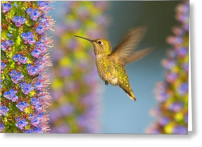 Hovering Greeting Cards - Female Annas Hummingbird Huntington Beach California Greeting Card by Ram Vasudev