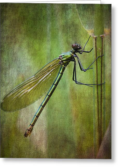 Demoiselles Greeting Cards - Female Banded demoiselle vintage look Greeting Card by Chris Smith