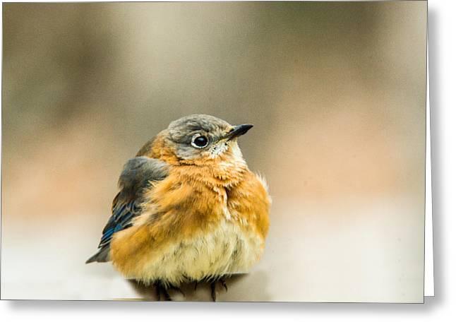 Bird Pin Greeting Cards - Female Blue Bird Eying Me Greeting Card by Douglas Barnett