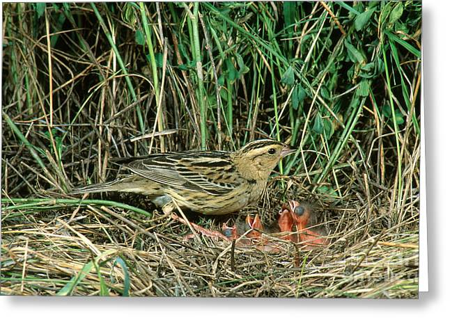 Caring Mother Greeting Cards - Female Bobolink At Nest Greeting Card by Anthony Mercieca